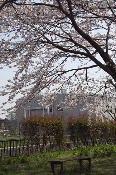 写真: 東戸塚の桜 04