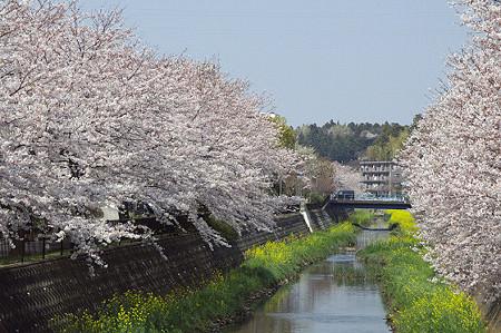 東戸塚の桜 05