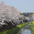 写真: 東戸塚の桜 05
