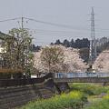 写真: 東戸塚の桜 08