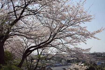 東戸塚の桜 12