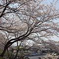 写真: 東戸塚の桜 12