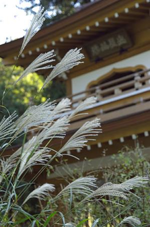 浄智寺のススキ