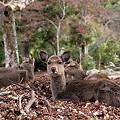 写真: 紅葉谷の鹿