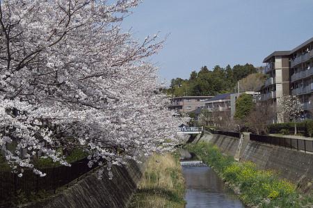 阿久和川の桜 01