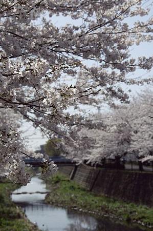 阿久和川の桜 03