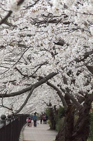 柏尾川の桜 02