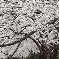 写真: 柏尾川の桜 02