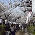 写真: 段葛の桜 02
