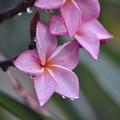 素敵なピンクのお花(プルメリア)