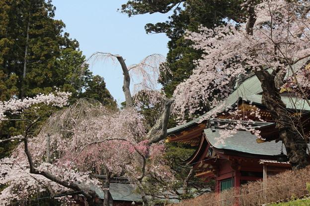26.4.16鹽竈神社の桜
