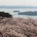 26.4.23西行戻しの松公園の桜