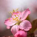 写真: 前田森林公園の桜